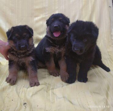 Продаются перспективные щенки немецкой овчарки. Дата рождения