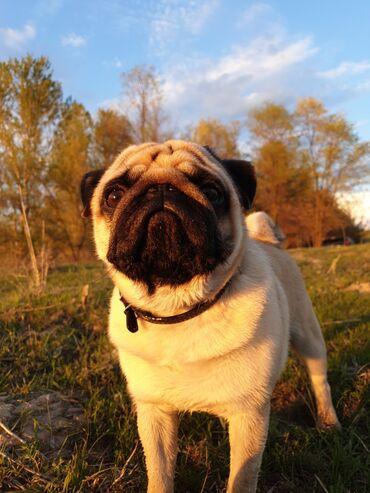куплю мопса в Кыргызстан: Ищем подружку для симпатичного Мопса ему 2,5 года!