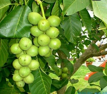 kraska zavodu - Azərbaycan: Türk cevizleri Yerli qoz ağaclarından fərqli olaraq 1 çi ilinden