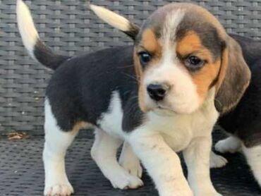 Δύο όμορφα Beagles έμειναν από σκουπίδια 12! Ένα αρσενικό ένα θηλυκό δ