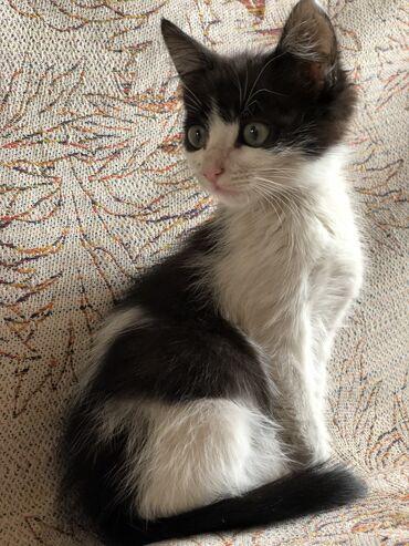 Бишкек! Милый котенок в добрые руки) мальчик. Ходит в лоток, очень умн
