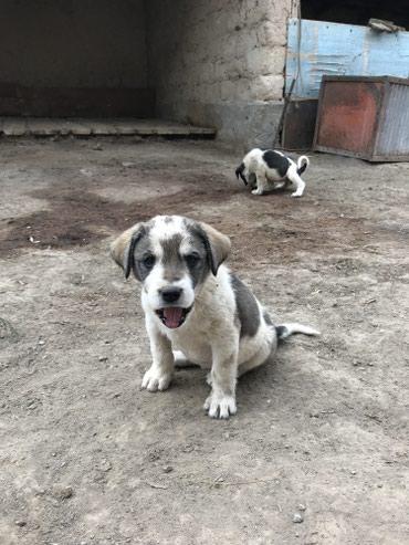 Продаются щенки чисткровного алабая, всего 9 щенят. 4 дев 5 маль.  в Каракол
