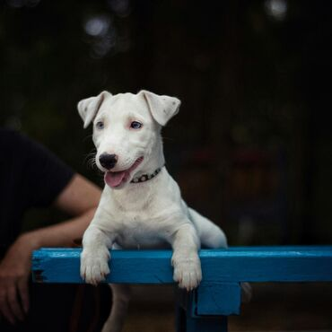 джек рассел терьер бишкек in Кыргызстан | СОБАКИ: Продается щенок Джек Рассел терьера,девочка, рожденная 25.03.2021г.В