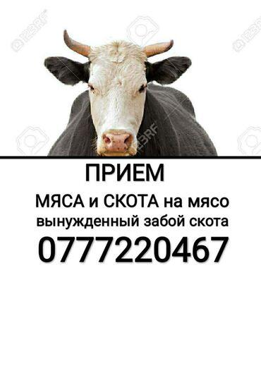 вакцины для животных в Кыргызстан: Куплю | Коровы, быки, Козы, козлы, Лошади, кони | На забой, на мясо
