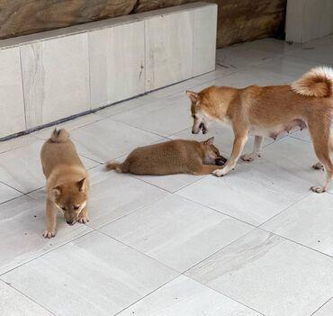 Όμορφα κουτάβια Shiba Inu προς πώλησηέχουμε χαριτωμένα αρσενικά και