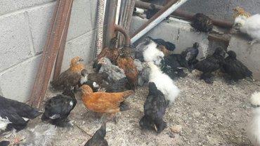 Цыплят карликовых пород кохинхины, в Лебединовка