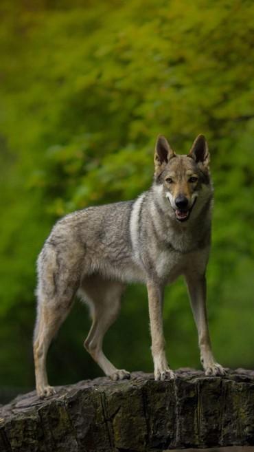 домик для маленькой собаки в Азербайджан: Чехословацкий влчак  Чехословацкая волчья собака - порода, полученная