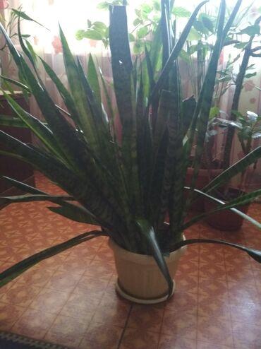 дезодорант алоэ эвер шилд в Кыргызстан: Продаю цветок сансевиерия (тещин язык) очень большой