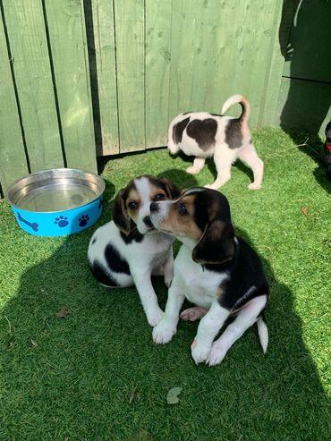 Pas - Srbija: Simpatični slatki psići štenadOdabrao sam psiće Beagle dečaka