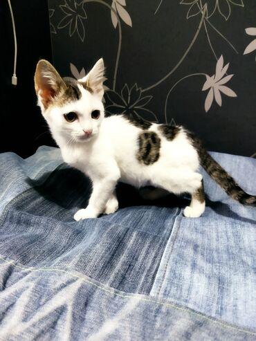 104 объявлений   ЖИВОТНЫЕ: Трехцветный котенок Филя в поиске дома и семьи. Шкодный обжорка и