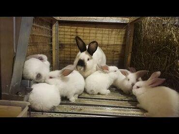 Грызуны - Беловодское: Кролики осталось 3штвесят по 2,800 3месяца