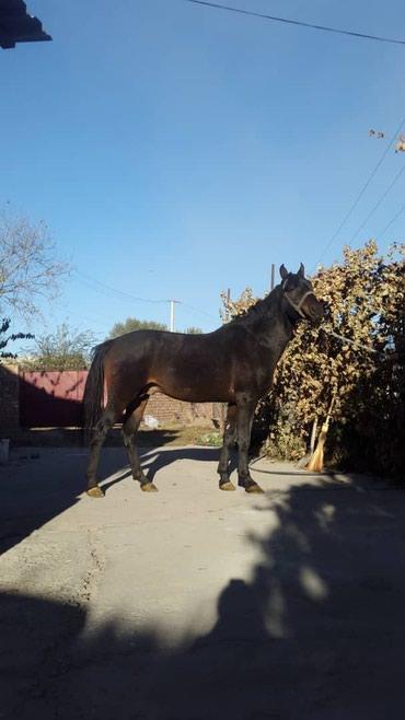Лошади из России в Кант - фото 6