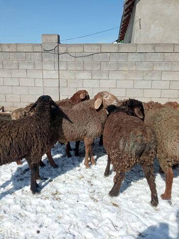 Бараны, овцы - Назначение: Для разведения - Бишкек: Продаю   Баран (самец)   Полукровка   На забой, Для разведения   Племенные, Осеменитель