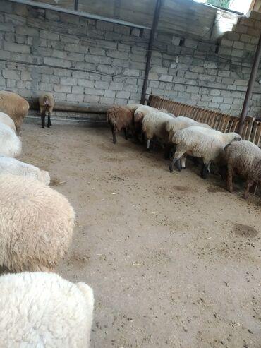 quzular - Azərbaycan: Kök dişi quzular 14-15 kq ayaq üstü 6 azn təmiz əti 12.50 istəyən olsa