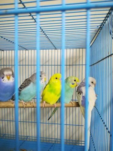 Разноцветные попугаи центр Сокулук Есть доставка до города