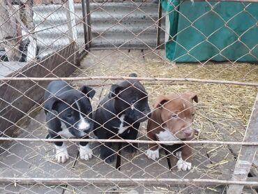 Собаки - Кыргызстан: Продаются Щенки Питбуля,2месОтец по кличке Малыш,чемпион Кыргызстана
