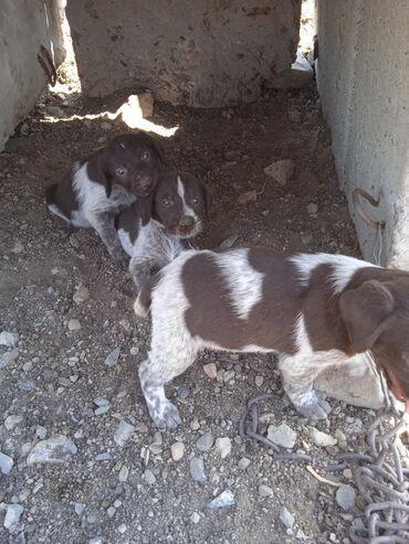 Животные - Кемин: Продаются щенки дратхаара  От родословных рабочих родителей  Осталось