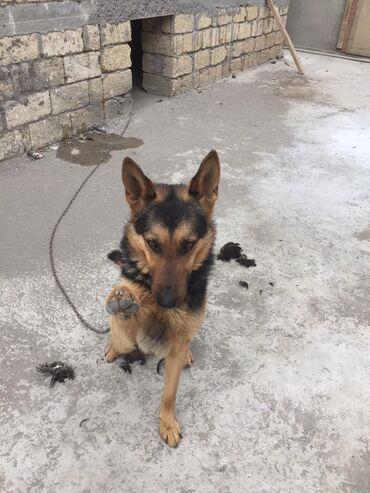 nemes avcarkasi - Azərbaycan: It satilir.temiz nemes afcarkasi di.komandalari başa düşür