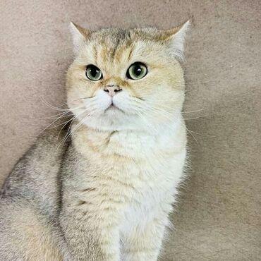Молодой Шотландский котик (2 года), продаеться длябридинга