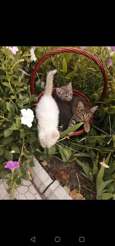 340 объявлений: Отдам котят даром в добрые ручки. Котята находятся в Бишкек. Возраст б