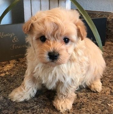 Maltipoo puppies Ready for rehoming both genders available, vaccinated