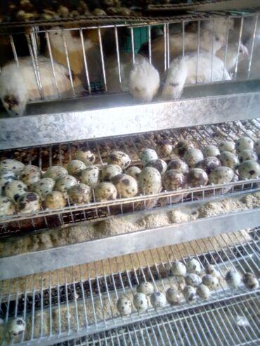 Продукты питания - Ак-Джол: Продаю перепелиные яйца. Инкубационные и пищевые, сразу нет только по
