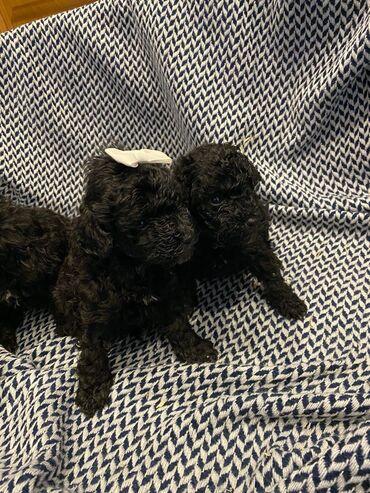 Toy Poodles, 2 αγόρια και 1 κορίτσι Έχω προς πώληση, 3 μικροσκοπικά κό