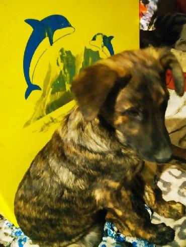 акита ину американская в Кыргызстан: Отдаю даром ответственным людям красивого и здорового щенка, мальчик
