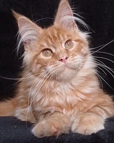 Продается котенок породы Мейн-кун
