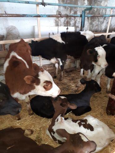 Животные - Кыргызстан: Продаю | Бык (самец) | Голштин, Симментальская | Для разведения