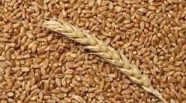 интенсивный стол в Кыргызстан: Продаётся пшеница продовольственная. Сорт «