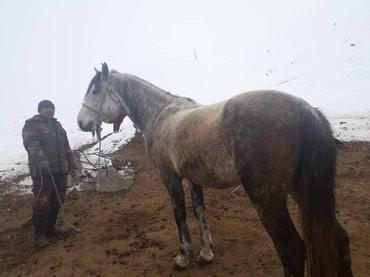 Айгыр ат сатылат 3 асый. кок бооруго в Бишкек