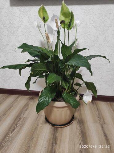 """цветок-семейное-счастье в Кыргызстан: Женское счастье,""""спатифиллум"""" освежает воздух в помещении,очещает от"""