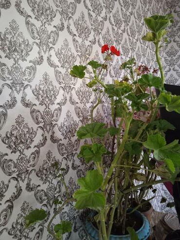 продам лайку в Кыргызстан: Все продам хороший состояние все бесплатная доставка хорошая цветы
