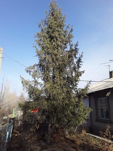 Елка, высота 9-10 м. в Кант