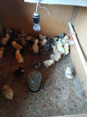 Цыплята,полубрама, возраст-1 месяц. Количество-100 штук