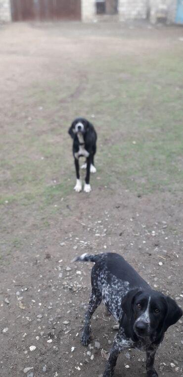 Животные - Агджабеди: Собаки