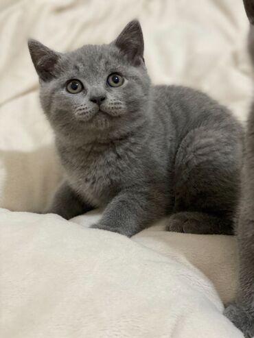 Βρετανικά γατάκια Shorthairs προς πώλησηWhatsApp μου +33 Γεια σας
