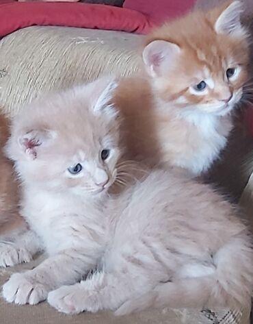 Kućni ljubimci - Srbija: Maine Coon mačići odgajivačnice Rumcoons dostupni za rezrvaciju. Cena
