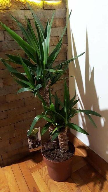 DRVO ZIVOTA lepo negovana biljka