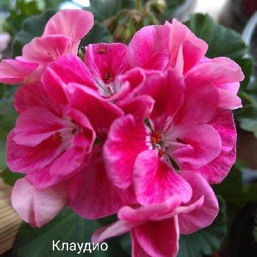 цветы пеларгонии в Кыргызстан: Комнатные цветы!Продаю только укорененные черенки!Доставка по городу