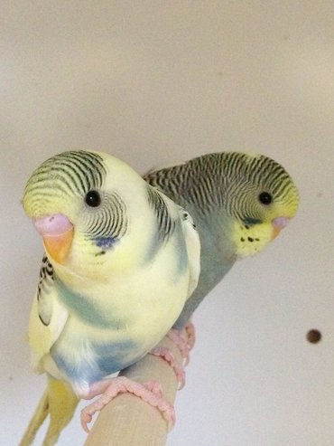 Попугаи 🦜🦜🦜волнистые попугаи . Самцы и самки редких и красивых окрасов