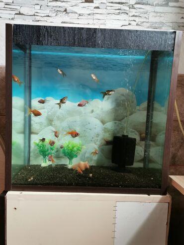 Akvarium gapaqla grunt fonla 16 balıqlar dənəsi 3 azn olan Oranda adi