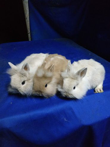 Крольчата карлико- декоративные..подарочные. в Кок-Ой