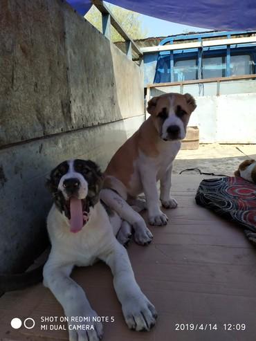 Продаются щенки Алабая бойцовой в Бишкек