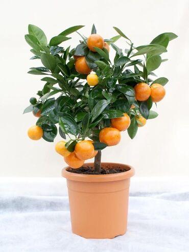 Kuća i bašta | Arandjelovac: Cena:550din/5 semenkiSadnja drveta narandže mandarine Mandarinske