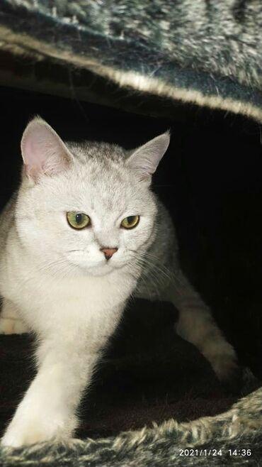 британский короткошерстный котенок в Кыргызстан: Котенок чистопородный Дорогой!!!  Выставляется на продажу  Кот - SFS 7