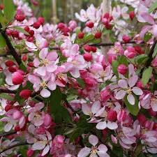 Яблоня обильноцветущая в Бишкек