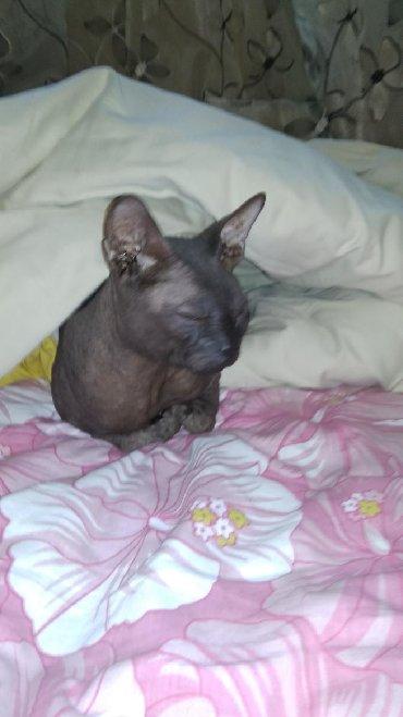 кошка сфинкс с шерстью в Кыргызстан: Донской сфинкс, резинка, черный, с документами(родословная