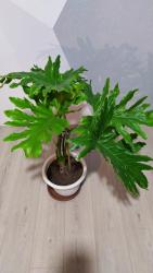 Другие комнатные растения - Кыргызстан: Филодендрон,высота 1,60м